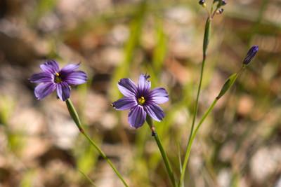 Sisyrinchium bellum (California Blue-Eyed Grass). Not a grass, actually. But it is a native.