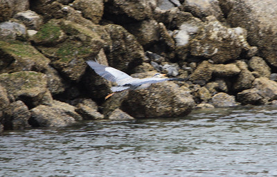 This Heron got spooked as soon as I approached the breakwall.  I wish I could have gotten him in focus...