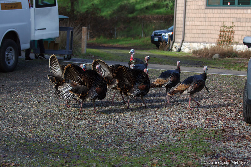 Two flocks of Tom's in a territorial stand-off.  The four with their feathers up were the winners.