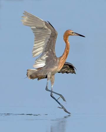 This photograph of a landing Reddish Egret was captured in the Bunche Preserve, Florida (9/12).  This photograph is protected by the U.S. Copyright Laws and shall not to be downloaded or reproduced by any means without the formal written permission of Ken Conger Photography.