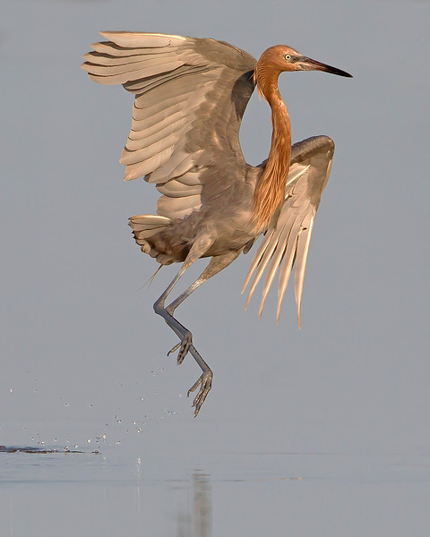 This photograph of a jumping Reddish Egret was captured in the Bunche Preserve, Florida (9/12).  This photograph is protected by the U.S. Copyright Laws and shall not to be downloaded or reproduced by any means without the formal written permission of Ken Conger Photography.