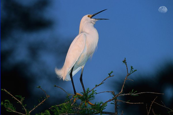 This is a photograph of a Snowy Egret taken in St. Augustine, Florida.  Was packing up my gear to leave and this egret flew into a tree and began calling.  Was able to get this shot before he left (4/05).