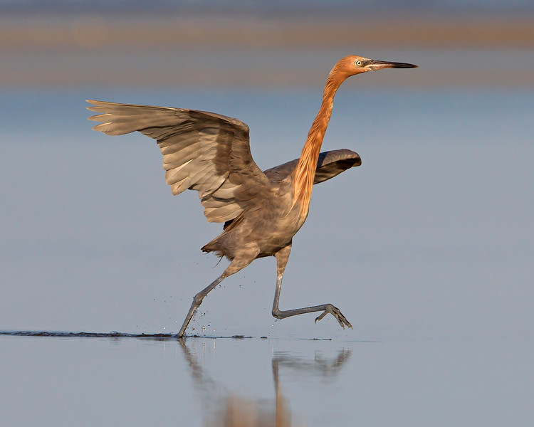 This photograph of a running Reddish Egret was captured in the Bunche Preserve, Florida (9/12).  This photograph is protected by the U.S. Copyright Laws and shall not to be downloaded or reproduced by any means without the formal written permission of Ken Conger Photography.