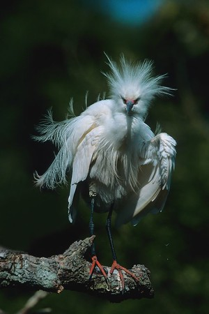 This is a photograph of a Snowy Egret in breeding colors was taken in St. Augustine, Florida (4/05).