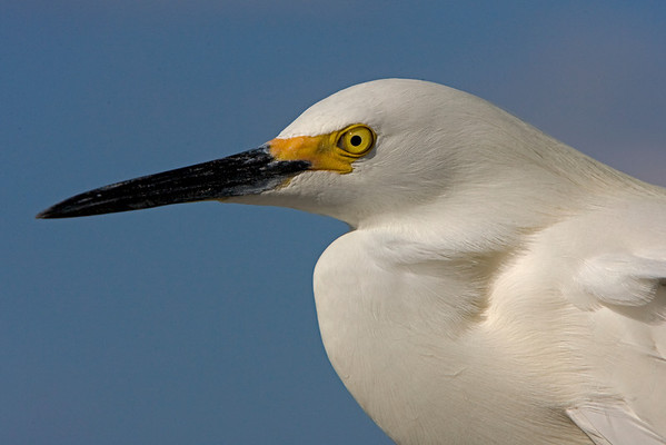 This Snowy Egret was photographed at Sanibel Island, Florida (4/08).   This photograph is protected by the U.S. Copyright Laws and shall not to be downloaded or reproduced by any means without the formal written permission of Ken Conger Photography.