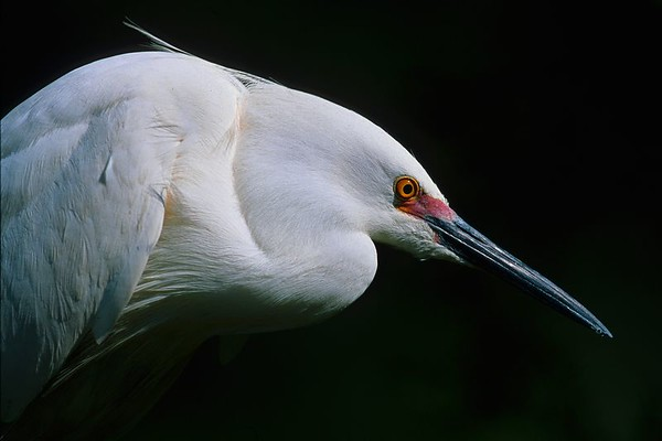 This is a photograph of a Snowy Egret in breeding colors was taken late in the evening in St. Augustine, Florida (4/05).