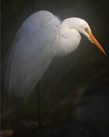 This Great Egret photograph was captured at Corkscrew Swamp Sanctuary (2/07).