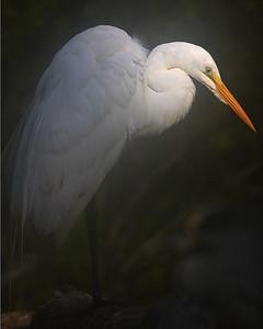 This Great Egret photograph was captured at Corkscrew Swamp Sanctuary (2/07).