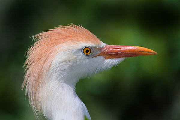 This is a photograph of a Catte Egret in breeding colors was taken in St. Augustine, Florida (5/06)