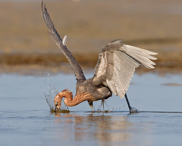 This photograph of a diving for a fish Reddish Egret was captured in the Bunche Preserve, Florida (9/12).  This photograph is protected by the U.S. Copyright Laws and shall not to be downloaded or reproduced by any means without the formal written permission of Ken Conger Photography.
