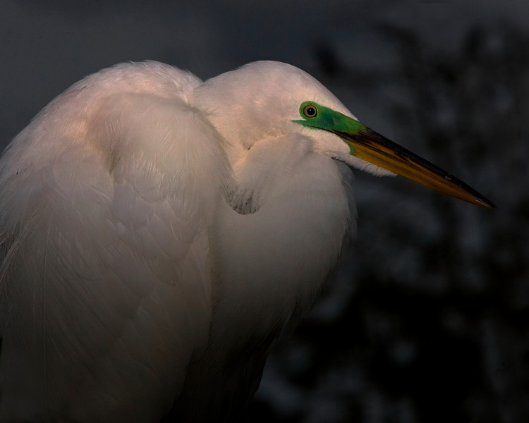 This Great Egret was photographed in Orlando, Florida (4/08).   This photograph is protected by the U.S. Copyright Laws and shall not to be downloaded or reproduced by any means without the formal written permission of Ken Conger Photography.