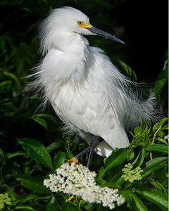 This is a photograph of a Snowy Egret.  With the wind blowing and the bird perched above the white flowers made for a nice image (St. Augustine 4/06).
