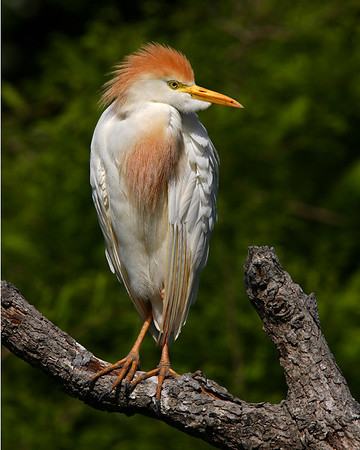 This is a photograph of a Cattle Egret was captured in St. Augustine, Florida (4/06).