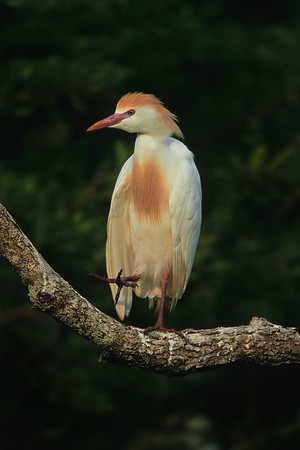 This is a photograph of a Cattle Egret in breeding colors was taken in St. Augustine, Florida (4/05).