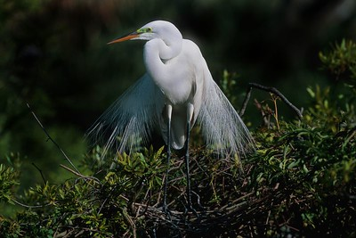This is a photograph of a Great White Egret in breeding colors was taken in St. Augustine, Florida (4/05).