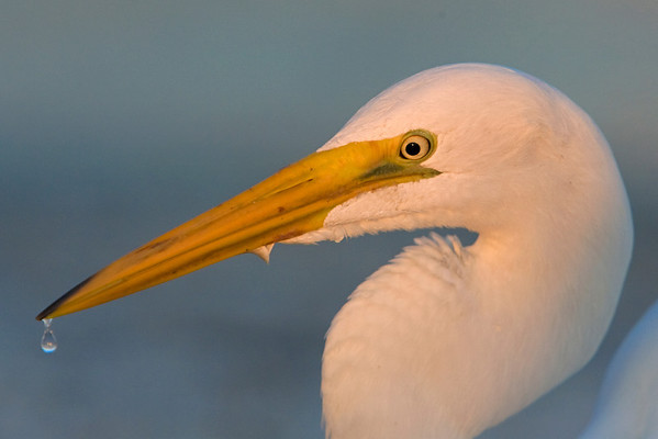 This Great White Heron photograph was captured at Fort DeSoto Park, Florida (4/08).   This photograph is protected by the U.S. Copyright Laws and shall not to be downloaded or reproduced by any means without the formal written permission of Ken Conger Photography.