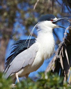Black Crested Night Heron
