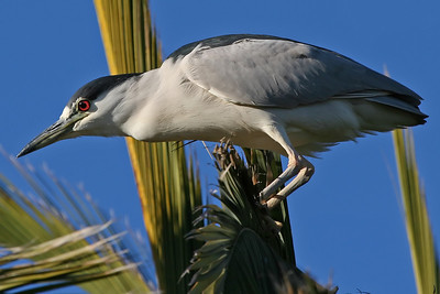 Night Heron, Palo Alto Baylands (Duck Pond)