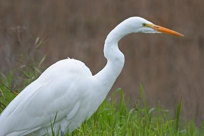 Great Egret, Palo Alto Baylands (Duck Pond)