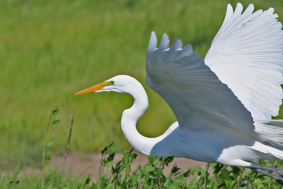 Great Egret, Palo Alto Baylands (Duck Pond)