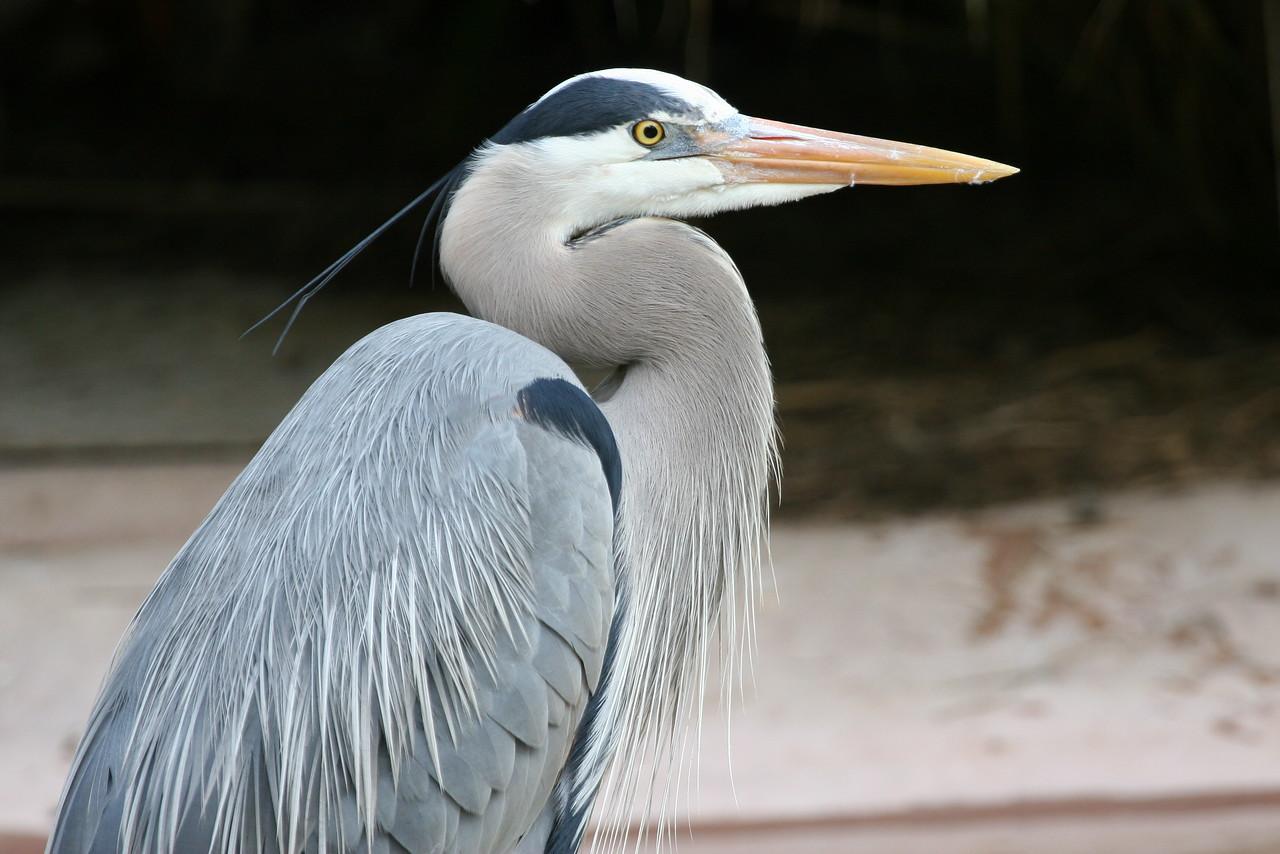 Great Blue Heron, San Diego Zoo