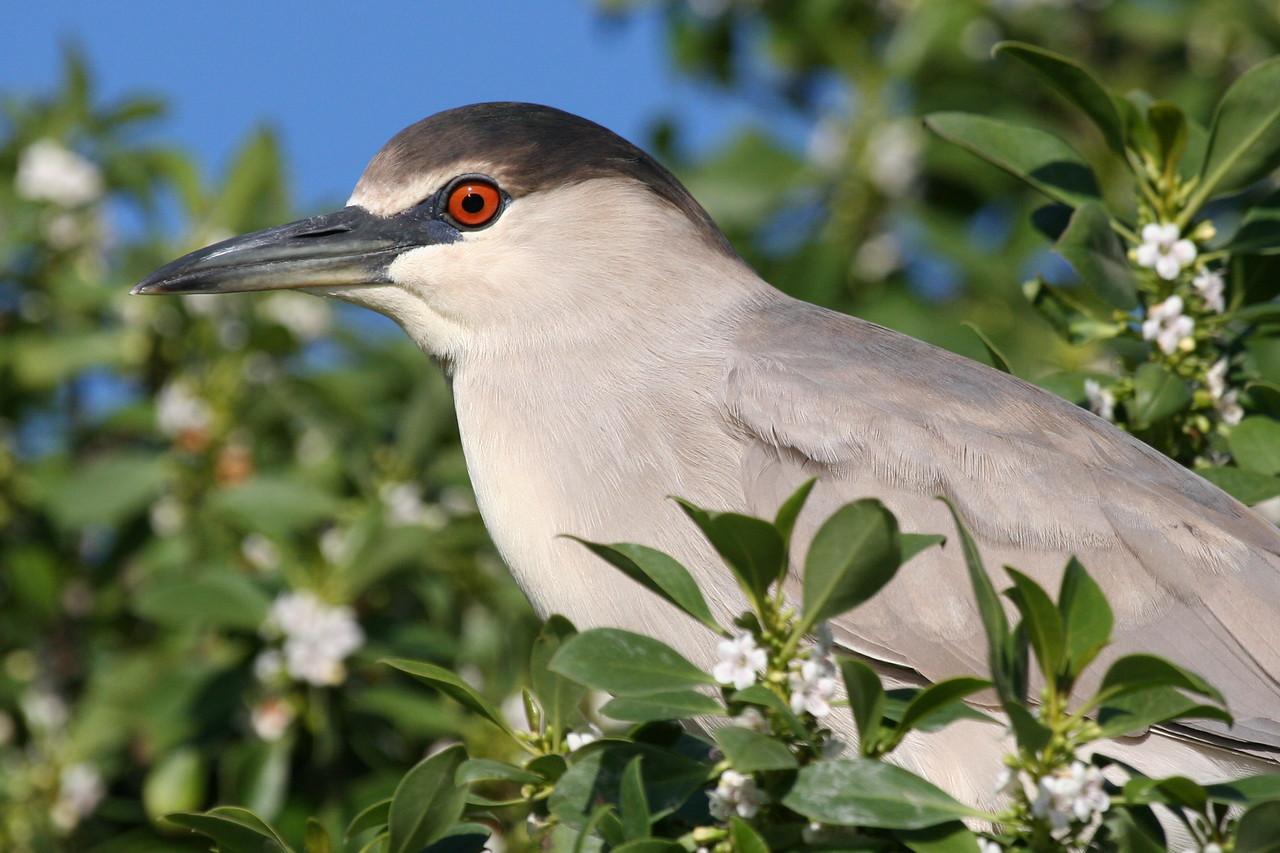 Night Heron, Palo Alto Baylands (Duck Pond)