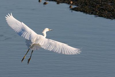 Snowy Egret, Palo Alto Baylands