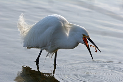 Snowy Egret eating worm, Palo Alto Baylands