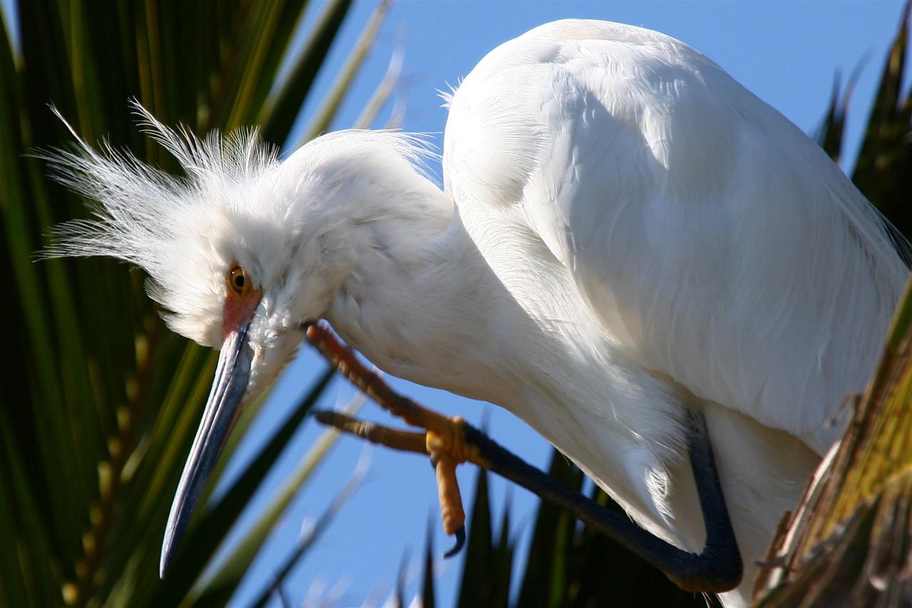 Snowy Egret, Palo Alto Baylands (Duck Pond)