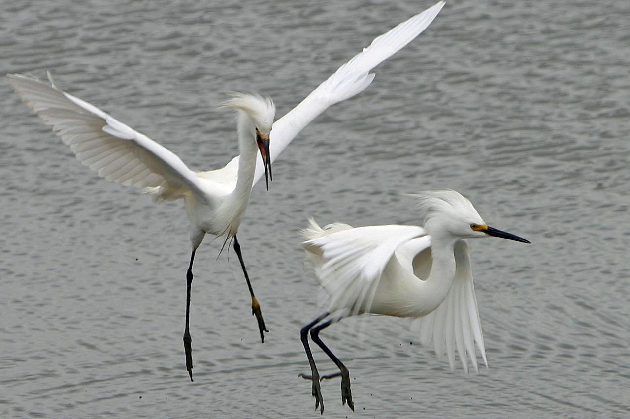 Snowy Egret, Shoreline Park