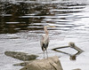 A Great Blue Heron fishes on the bank of the Kennebec River in Augusta, Maine.