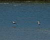 Great Blue Herons in the Kennebec River, Augusta, Maine