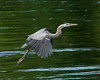 Great Blue Heron lifts off from  the Kennebec River, Augusta, Maine