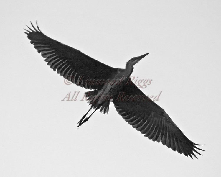 Great Blue Heron flies above the Kennebec River, Augusta, Maine
