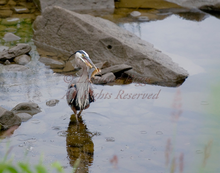 A Great Blue Heron fishes on the bank of the Kennebec River in Augusta, Maine. This one just speared a sucker.