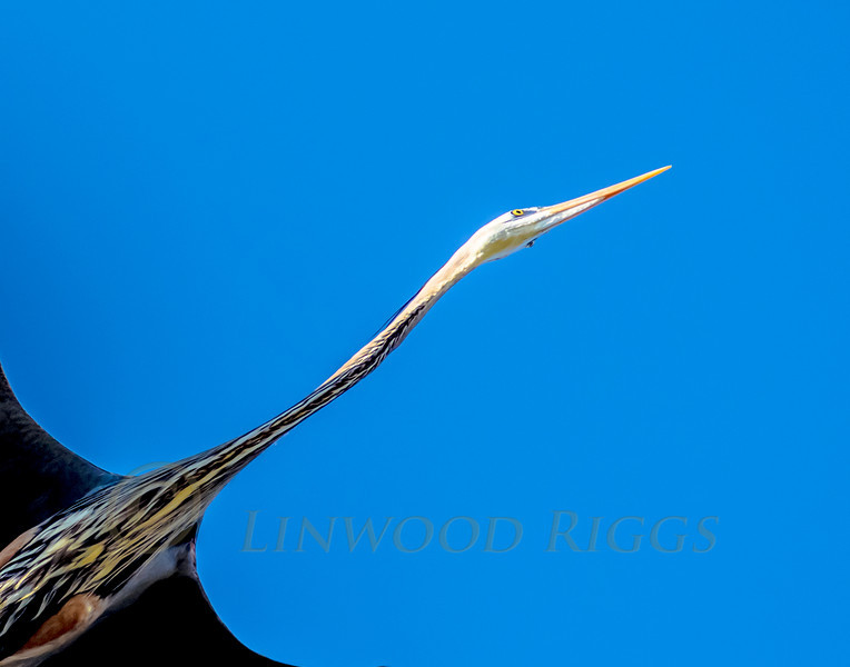 A Great Blue Heron's neck appears slender in this view, but it's distensible, and they can swallow quite a large fish.