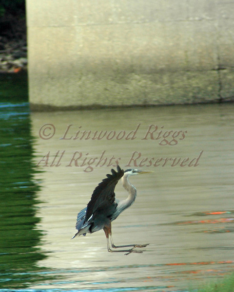 Great Blue Heron lands in the Kennebec River, Augusta, Maine