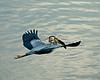 Great Blue Heron flies away with its dinner above the Kennebec River, Augusta, Maine