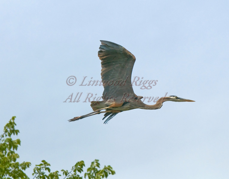 A Great Blue Heron in Gardiner, Maine