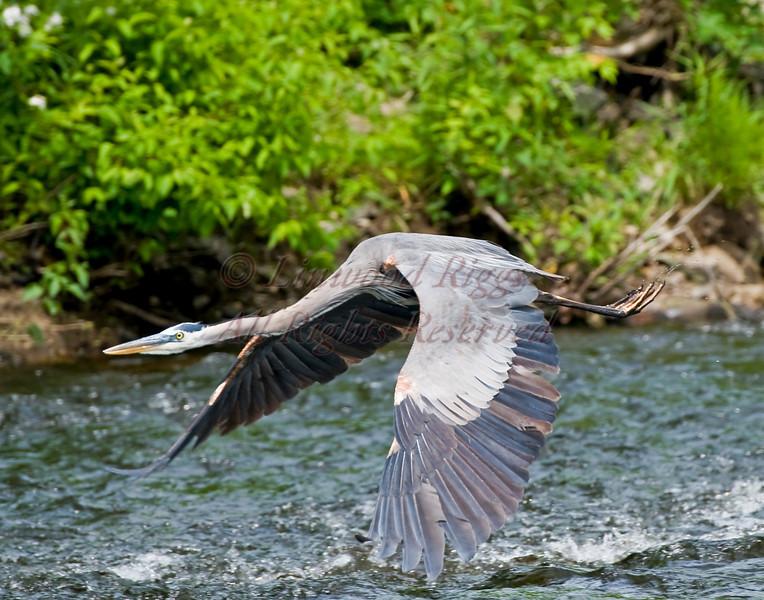 A Great Blue Heron on Cobbossee Stream in Gardiner, Maine
