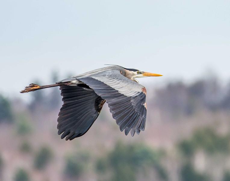 A Great Blue Heron flies over the Messalonskee Marsh at Belgrade, Maine