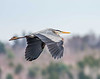 A Great Blue Heron flies over the Messalonskee Marsh at Belgrade, Maine