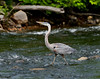 A Great Blue Heron on Cobbossee Stream in Gardiner, Maine