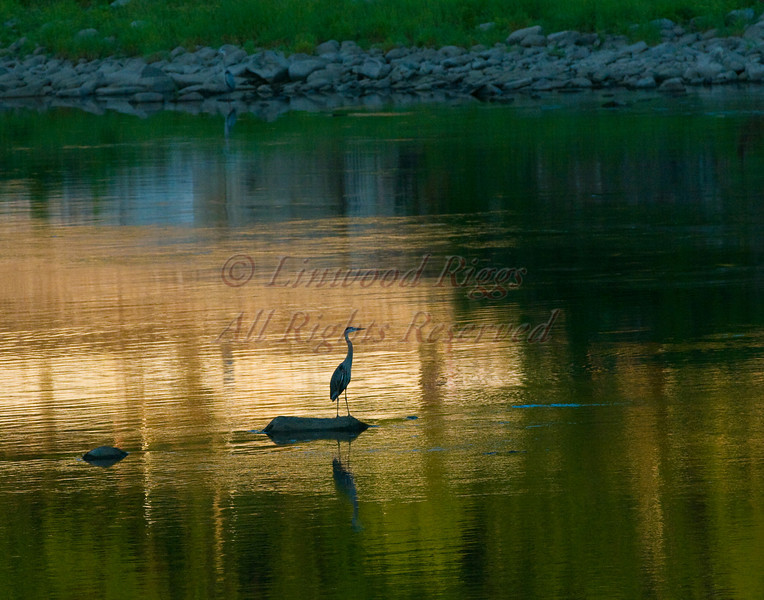 A Great Blue Heron perches on a rock in the Kennebec River at Augusta, Maine.