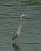 Great Blue Heron in the Kennebec River, Augusta, Maine