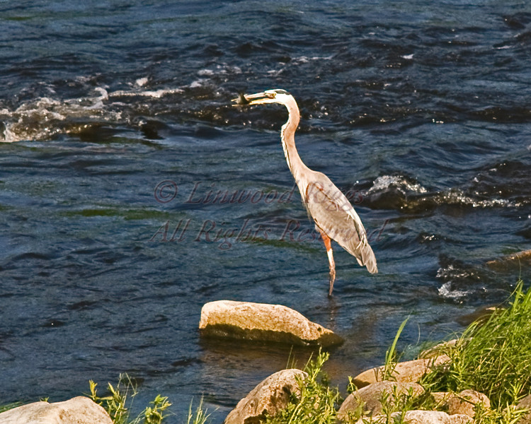 Great Blue Heron eats a fish in the Kennebec River, Augusta, Maine