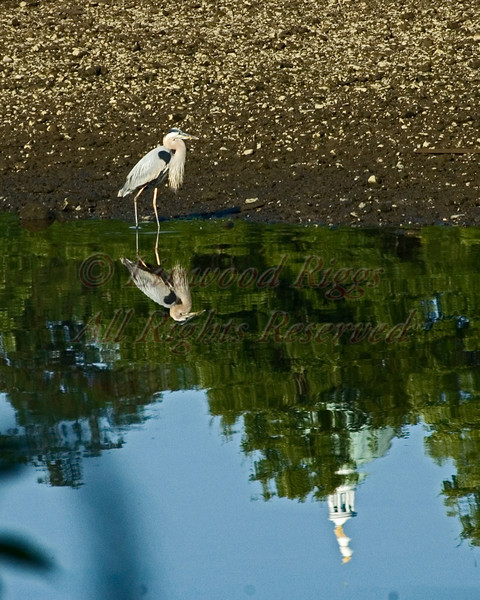 Great Blue Heron and the Maine State Capitol reflected in the Kennebec River, Augusta, Maine