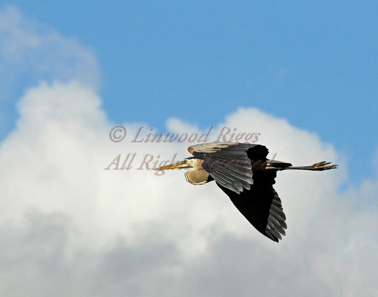Great Blue Heron flies above the Kennebec River in Augusta, Maine