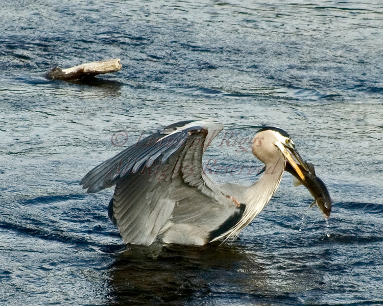 Great Blue Heron spears a fish in the Kennebec River, Augusta, Maine