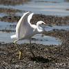 Snowy Egret landed